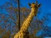 Best of Giraffe Art Photography 6 By Messagez.com